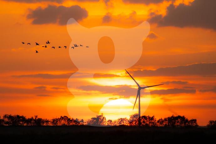 Greylag Goose Sunset