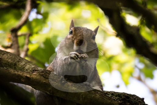 Grey squirrel eating looking down