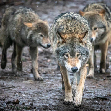 Grey Wolf >>