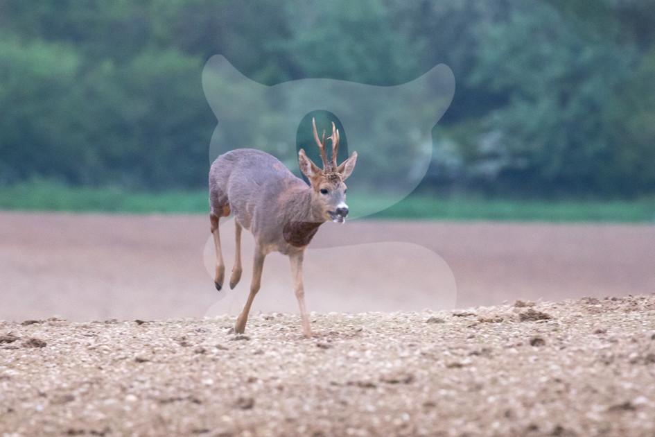 Running roe deer