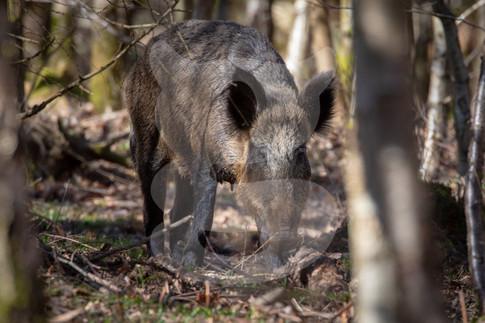 Wild boar sow