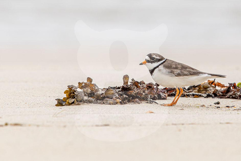 Common Ringed Plover