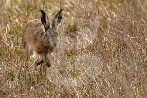 Hare running through cornfield