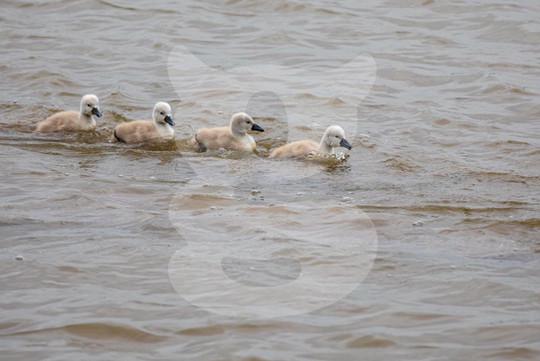 Mute Swan chicks