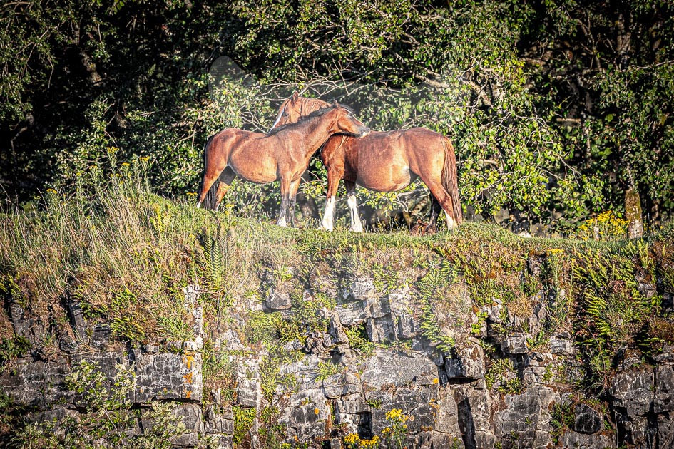 Welsh Mountain Ponies
