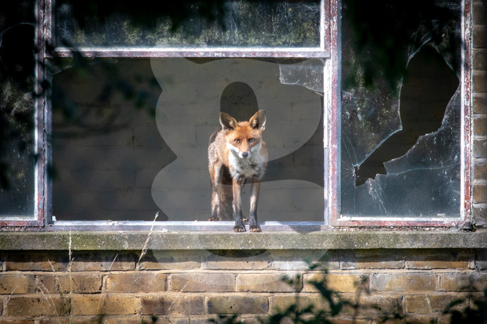 Urban fox face on