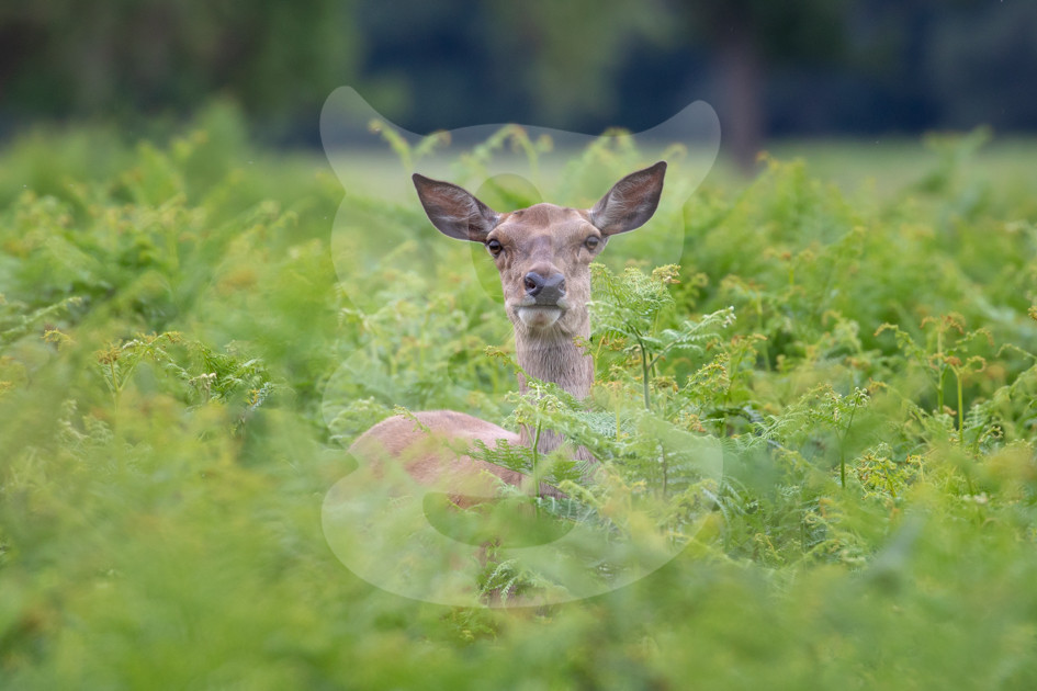 Red deer hind peaking out from the ferns