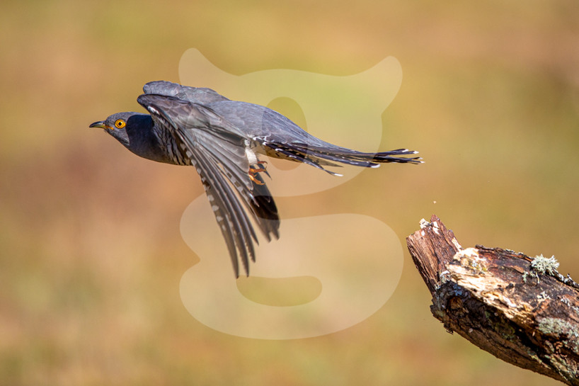 Cuckoo take off