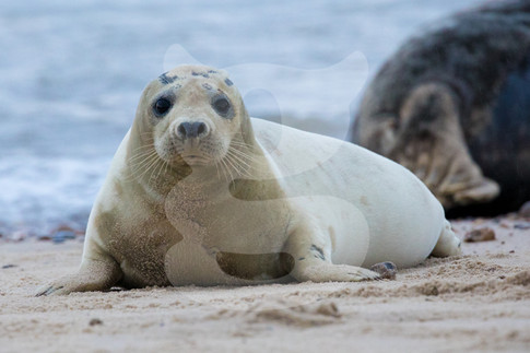 Curious grey seal