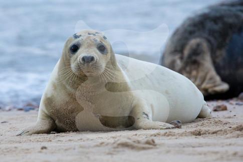 Curious grey seal