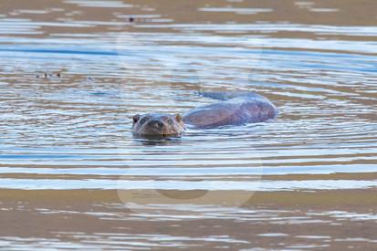 Swimming otter, Isle of Mull