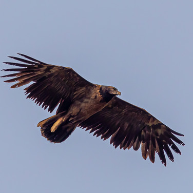 Bearded Vulture >>