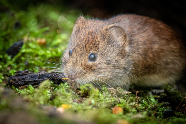 Sniffing Bank Vole