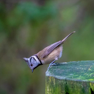 Crested Tit >>