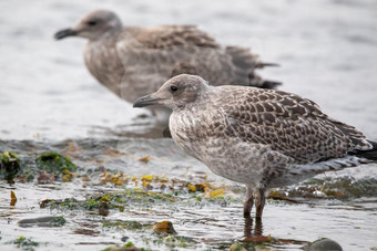 Juvenile Herring Gulls