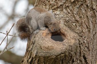 Grey squirrel looking in hole