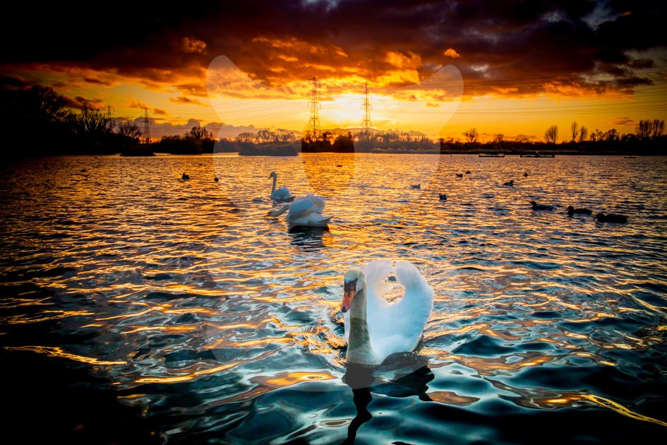 Mute Swans Sunset