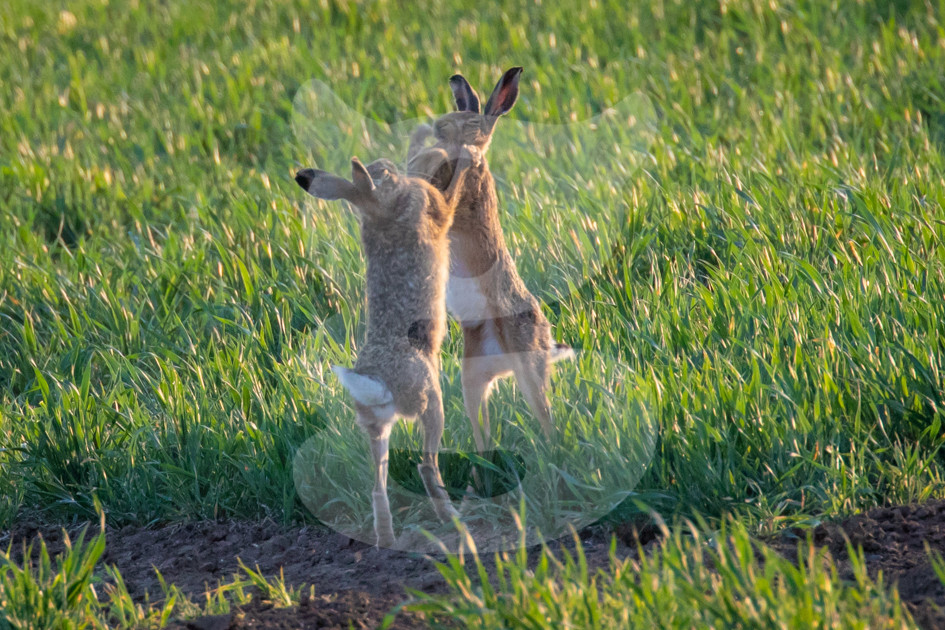 Fighting brown hares