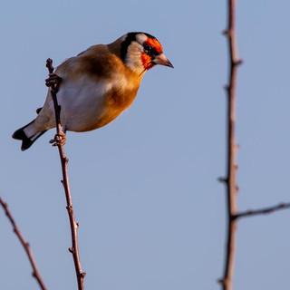 Goldfinch >>