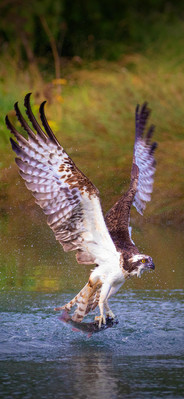 Osprey Catching Lunch