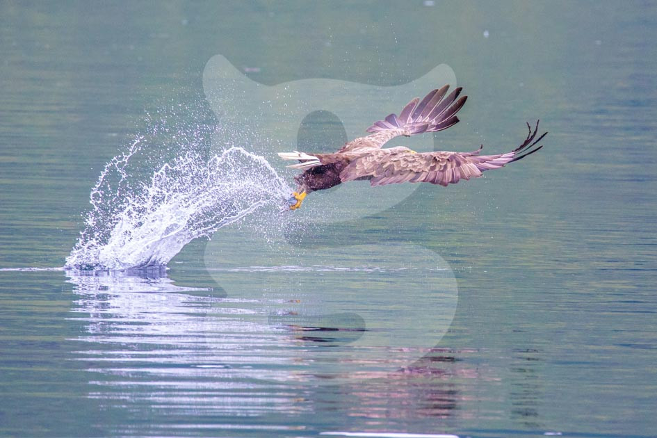 White-tailed EagleWhite-tailed Eagle