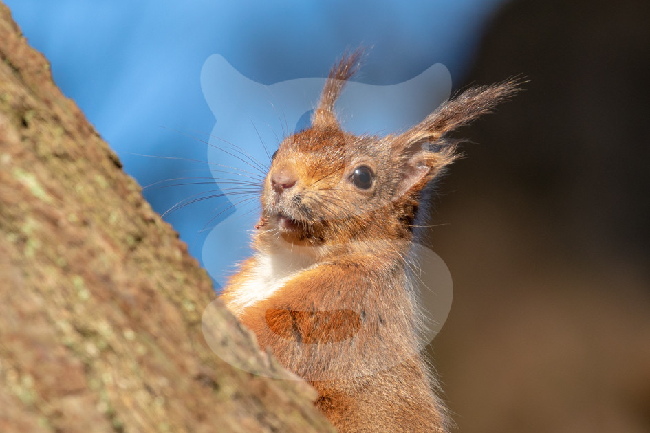 Red squirrel looking over tree