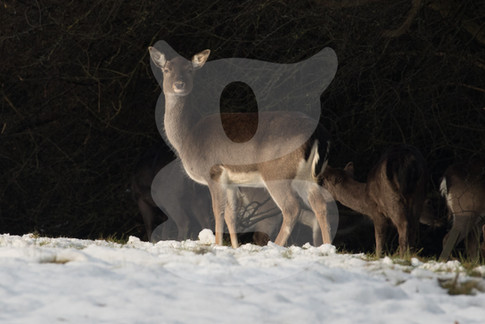 Fallow buck with winter coat in snow