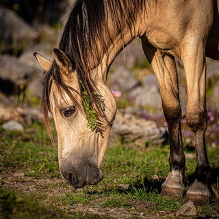 Welsh Mountain Ponies >>