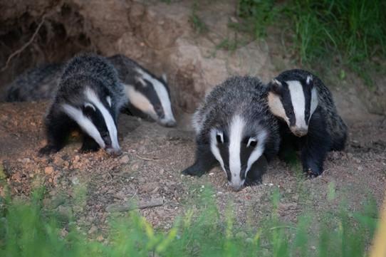 Four feeding Badgers
