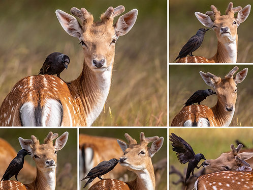 The Jackdaw and The Deer