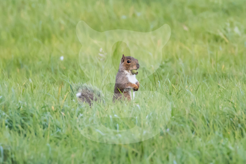 Grey squirrel with acorn in grass