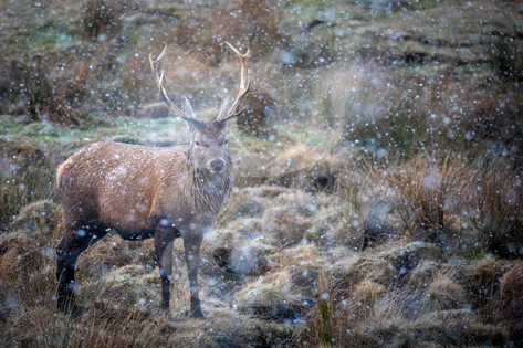 A single red deer during a snow storm in the Scottish Highlands