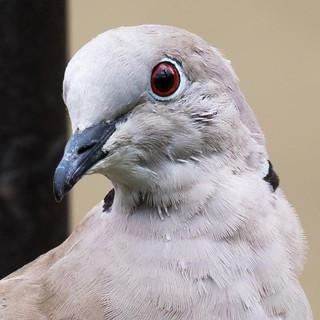 Collared Dove >>
