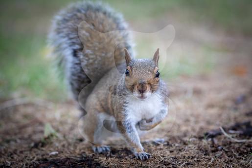 Grey squirrel on three legs