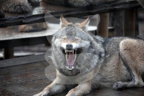 Yawning grey wolf, Highland Wildlife Park, Scotland