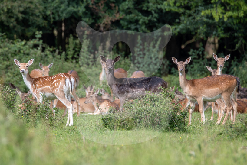 Fallow deer lookouts