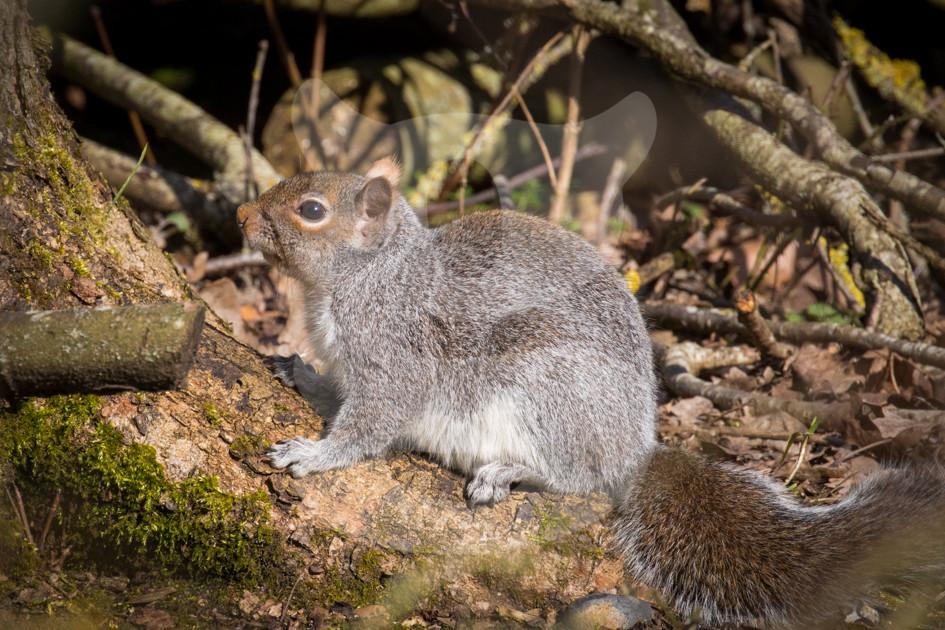 Grey squirrel on tree stump