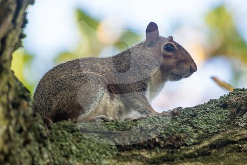 Grey squirrel sitting on branch
