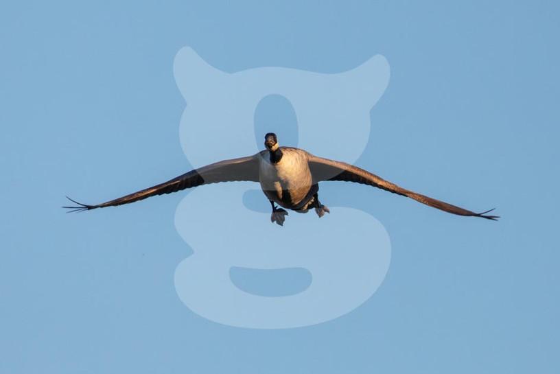 Canada Goose flying