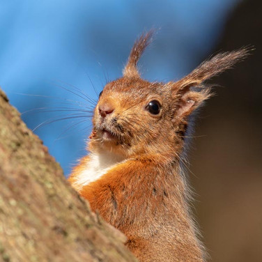 SQUIRREL - Red Squirrel >>