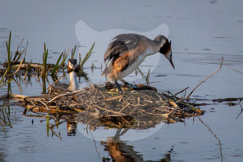 Great Crested Grebe pair on nest