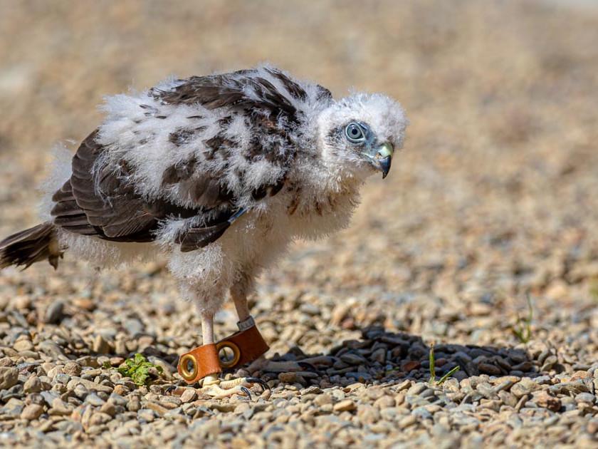 Sparrowhawk chick