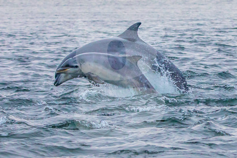Dolphin mother and calf breaching