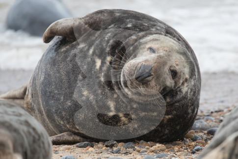 Large grey seal