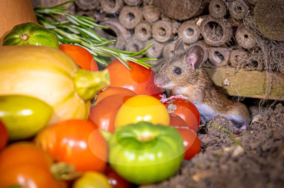 Field Mouse welcomes a harvest