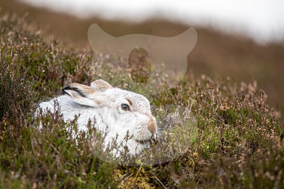 Mountain hare, Scottish Highlands