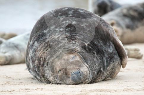 Large sleeping grey seal