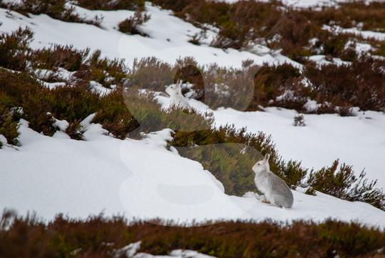 Mountain hares, Scottish Highlands