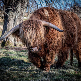 Highland Cattle >>