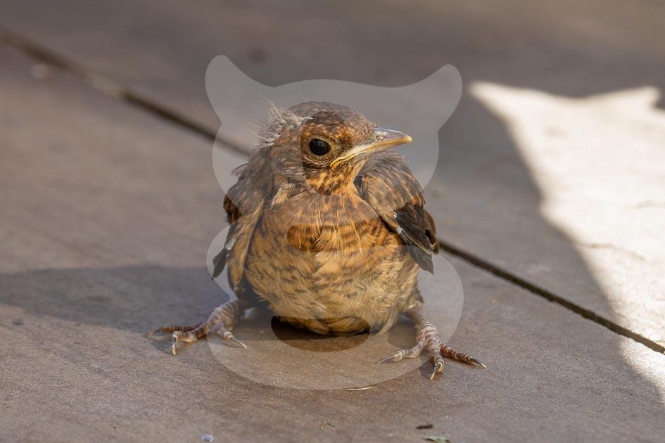 Juveile Blackbird